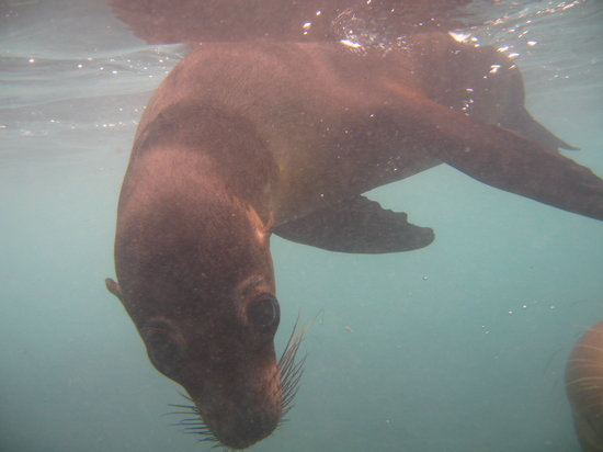Red Mangrove: playful sea lion
