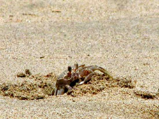 Las Mananitas: Crabs on the beach