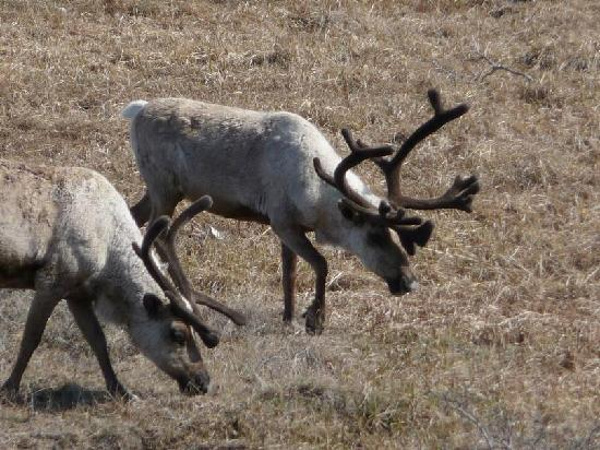 These antelope were near the Nome Nugget Inn