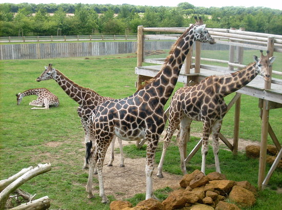Banham, UK: Get a ticket to feed the giraffes