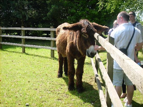 Banham, UK: Poitou donkey