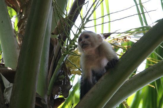 Cabinas Manolo: White-Faced Monkey