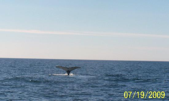 Granite State Whale Watch: Flask the humpback whale