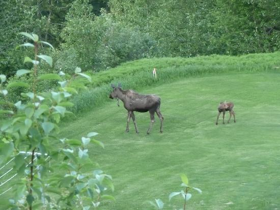 Moose Gardens Bed and Breakfast: Moose on the loose!