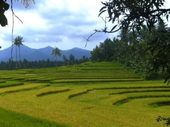 Negara, Indonezja: Rice field