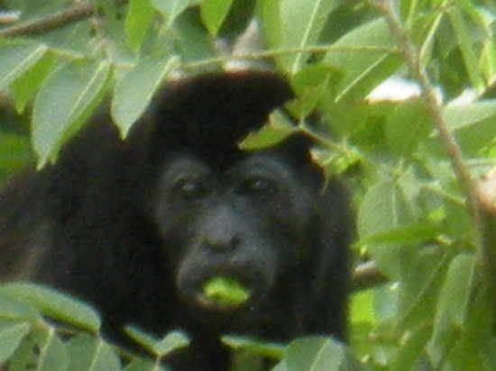 Playa Avellanas, Costa Rica: Monkey Eating near Yoga Ashram