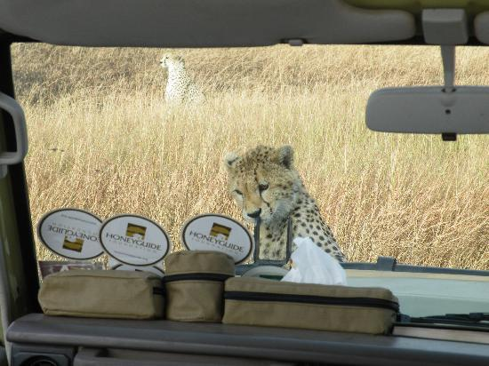 Sayari Camp, Asilia Africa: Cheetah cub on the vehicle bonnet/hood