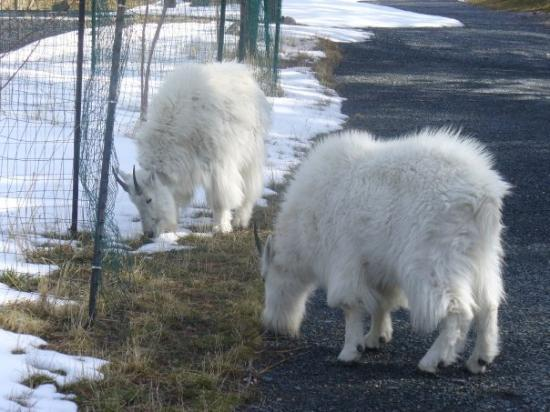 Mount Rushmore National Memorial: Rocky Mountain goats.  There is an actual herd in the park.