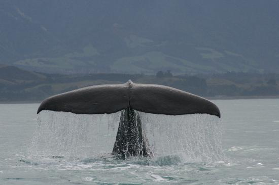 Whale Watch Kaikoura: One of the many sperm whales