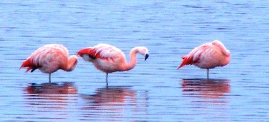 Flamencos en la Bahía de Porvenir