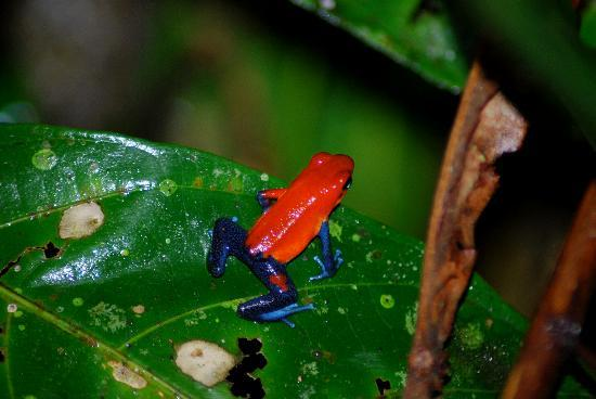 Tree Houses Hotel Costa Rica: blue jean frog