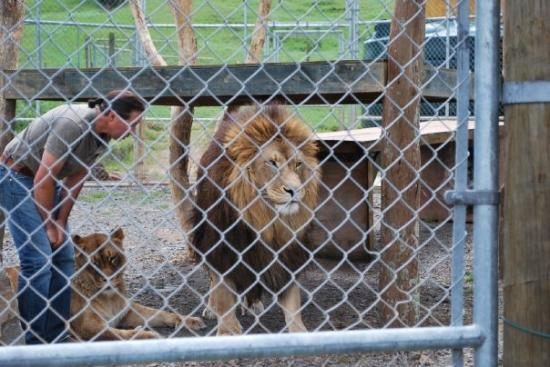 Kamo Wildlife Sanctuary: Voici Aslan, le lion du film 'Narnia""