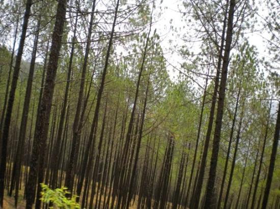 Pithoragarh, India: Cheer Pine Forest
