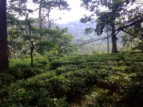 Siliguri, India: tea garden,darjiling