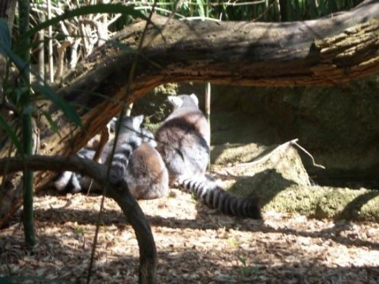Nashville Zoo: The LEMURS!!!  It took us ALL DAY to track these little guys down.  The twins didn't want to go