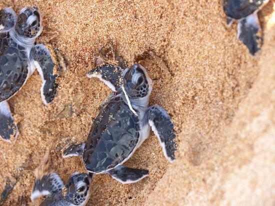 Lamu House Hotel: excursion turtle hatching