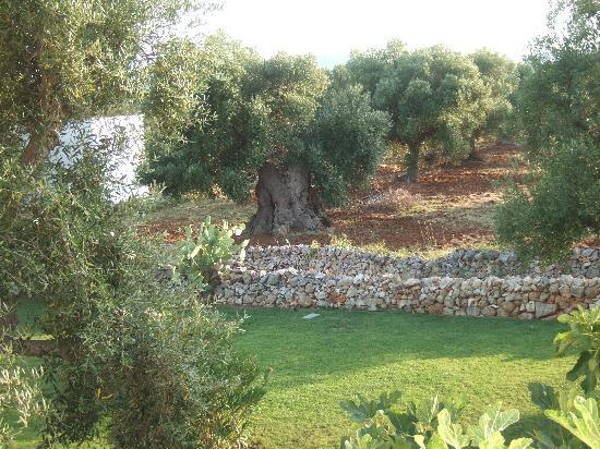 Gli ulivi in giardino picture of masseria la rascina - Giardino con ulivi ...