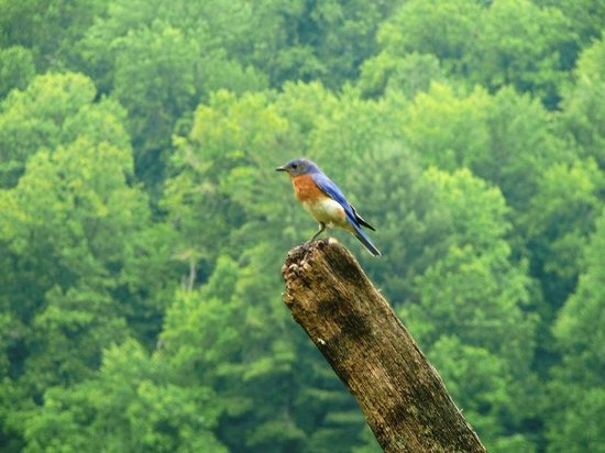 Cherokee, NC: Eastern Bluebird at Mountain Farm Museum