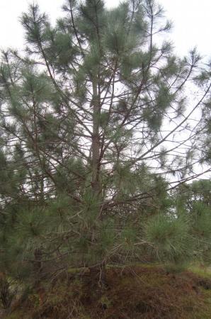 Diablo, Kalifornien: El árbol de pino gris o, mejor dicho, Pinus sabiniana.