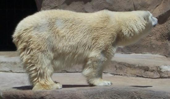 Madison, WI: Polar bear, Vilas Park Zoo.