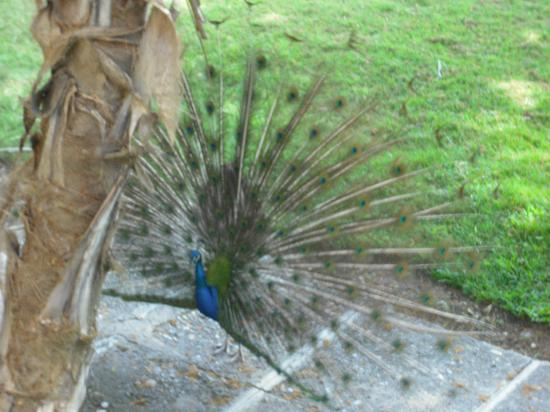 Occidental Caribbean Village Playa Dorada: Peacock in the hotel grounds