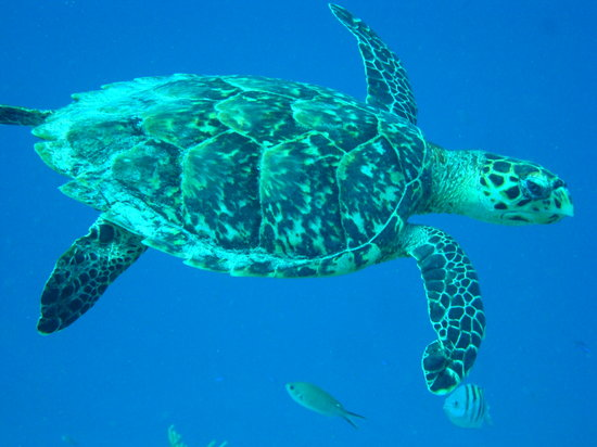 Woodwind Sailing & Guided Snorkel: 1 of many turtles we saw - Dee dove to get me the closeup!