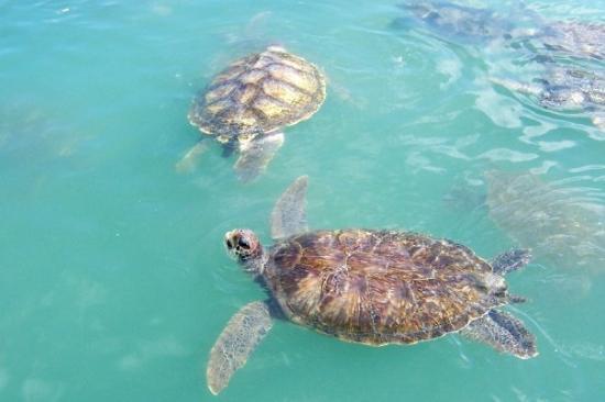 Cayman Turtle Centre: Island Wildlife Encounter: Sea Turtle Farm, Cayman Islands