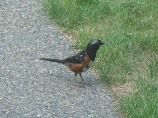 Cobble House Bed & Breakfast: A Spotted Towhee