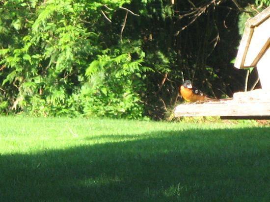 Cobble House Bed & Breakfast: An Oriole?