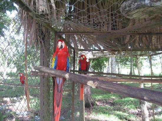Ara Macao Las  Guacamayas: Se cuida y preserva a la especie Guacamaya en extinción a nivel mundial