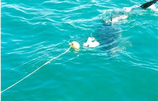 White Shark Diving Company: South Africa. Gansbaai. Tubarão-branco.