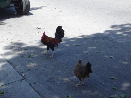 Rooster and chicken foto di key west florida keys for Key west fish and chicken