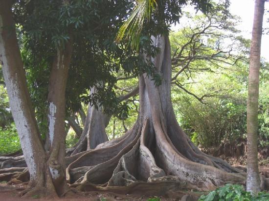 Jurassic Park filmed at the Allerton Gardens Kauai Picture of