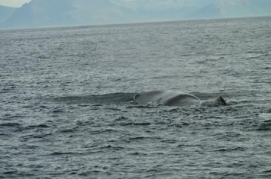 Whalesafari Andenes: Sperm whale on surface breathing