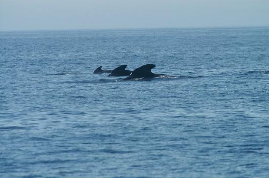 Andenes, Norwegia: School of pilot whales