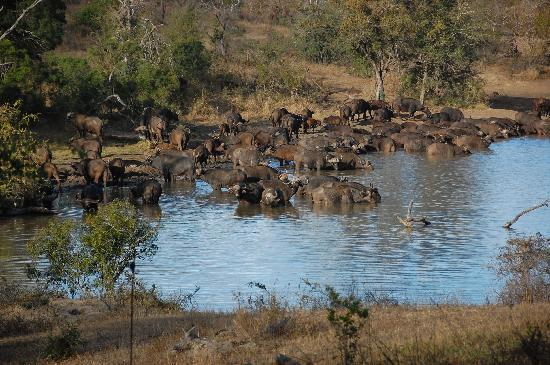 Vuyatela Lodge & Galago Camp: Cape Buffalo in front of lodge