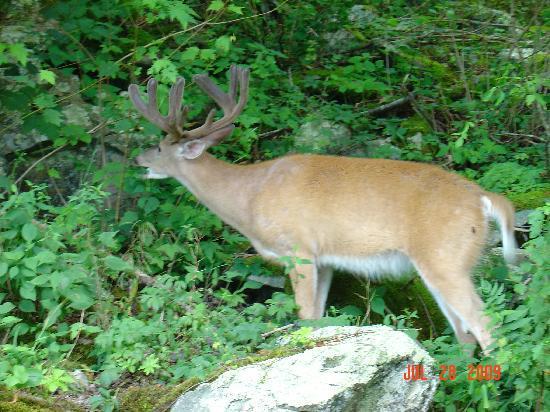 Big Meadows Campground: A Buck