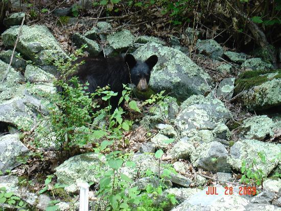 Big Meadows Campground: black bear
