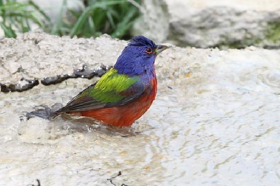 Quiet Hill Ranch - Fredericksburg: Painted Bunting bathing