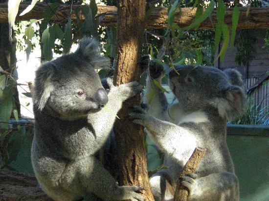 Lone Pine Koala Sanctuary: so friendly and cuddly