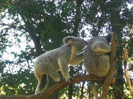 Lone Pine Koala Sanctuary: close up and active