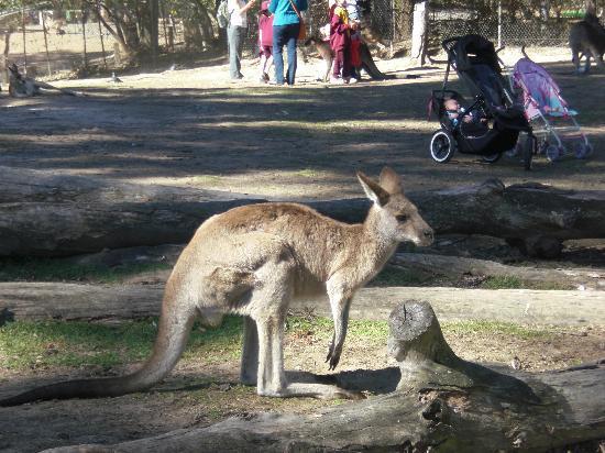Lone Pine Koala Sanctuary: roam with the kangaroos