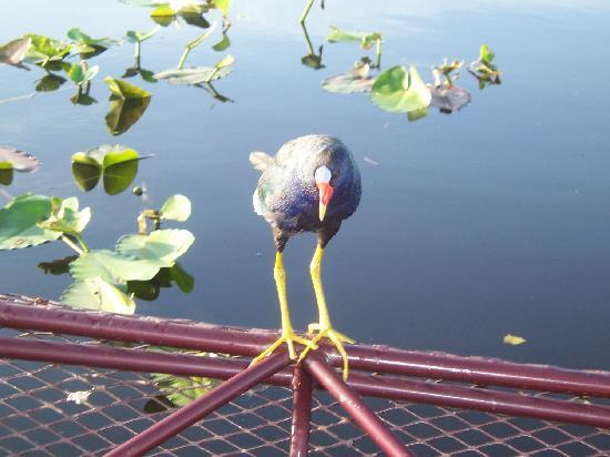 Captain Fred's Airboat Nature Tours: Wayne attracting a purple gallinule