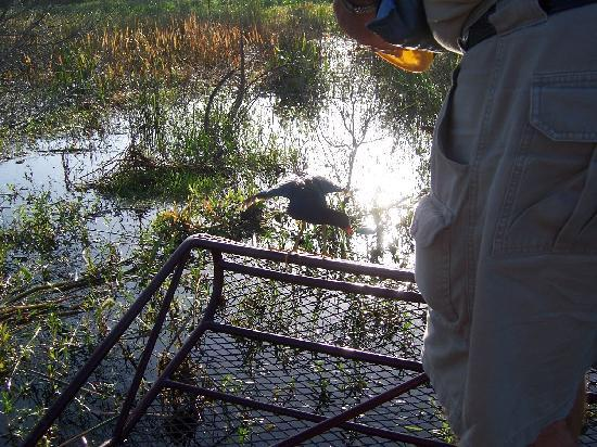 "Captain Fred's Airboat Nature Tours: Wayne feeding crickets to ""Short-Toes"""