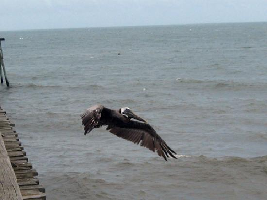 Watch the pelicans on Kure Beach pier just down the block from Palm Air Cottages.