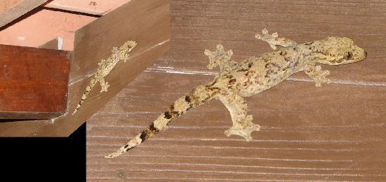 Cascadas Farallas Waterfall Villas: I love geckos... and this is a BIG one. The beam in the smaller inset is a 2x10!
