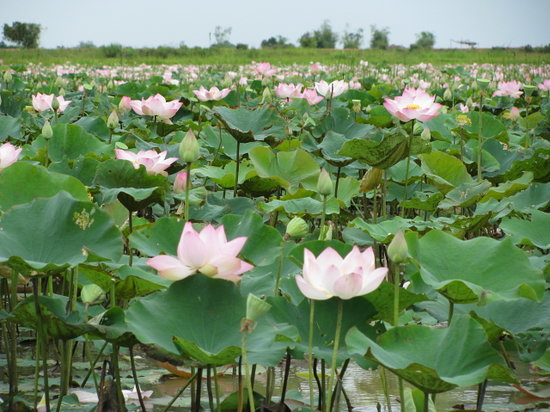 Siem Reap, Kamboja: gorgeous lotus blooms