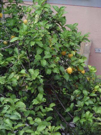 La Colonnina Hotel: Lemon Trees in Courtyard