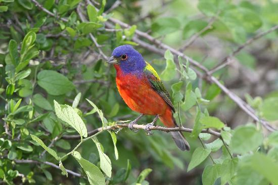 Quiet Hill Ranch - Fredericksburg: Painted Bunting male at QHR