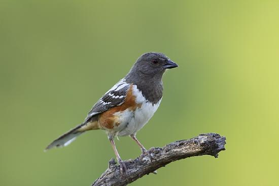 Quiet Hill Ranch - Fredericksburg: Spotted Towhee at QHR